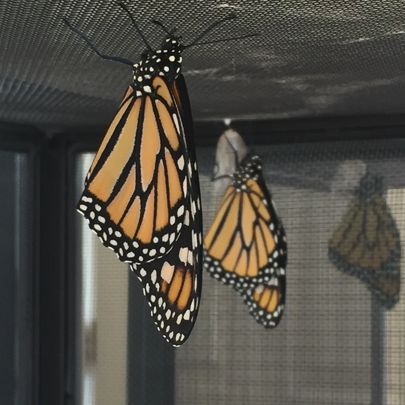 Monarch Butterflies newly eclosed