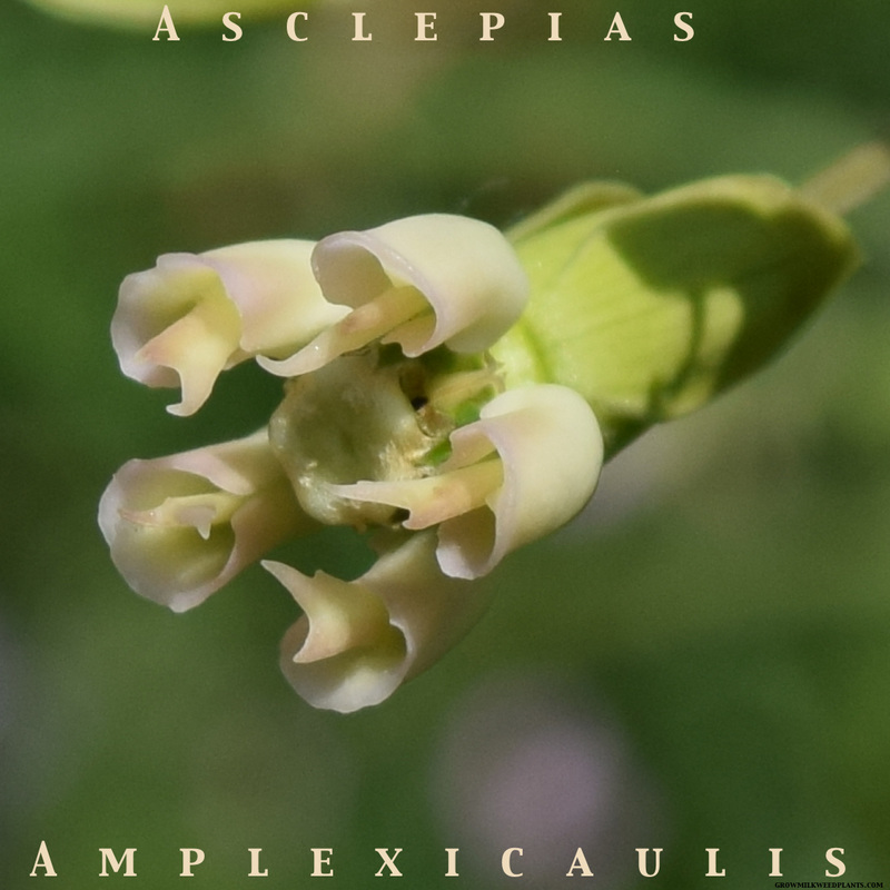 Clasping milkweed, asclepias