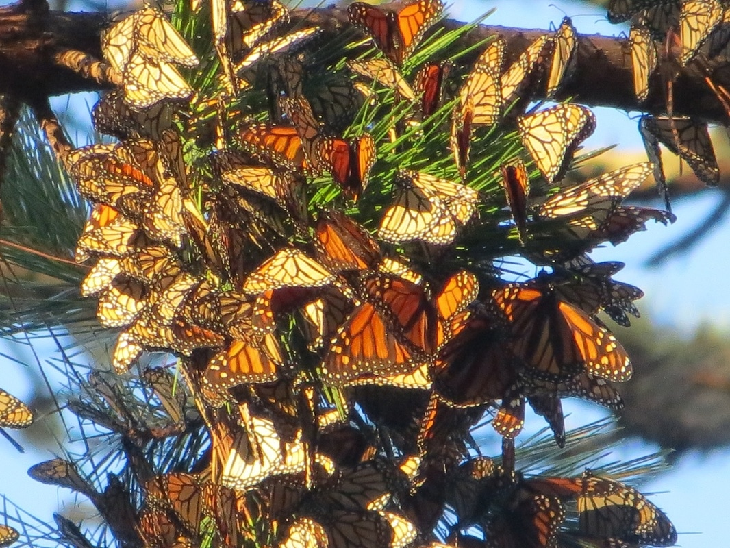 monarch butterfly clusters california