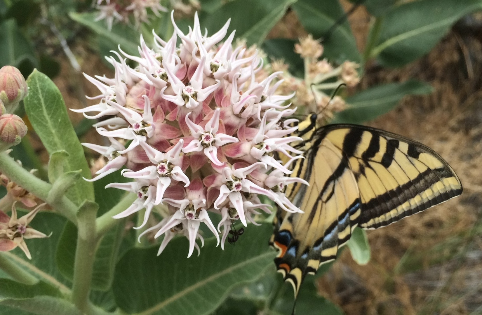 showy milkweed with butterfly
