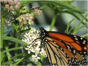 Matilija Nursery Monarch on milkweed
