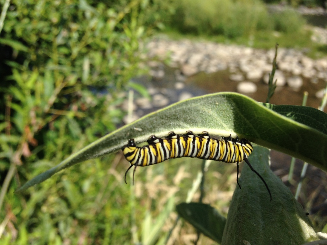 Monarch Caterpillar on Showy milkweed (Asclepias)