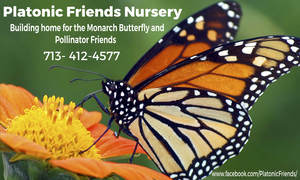 buy milkweed plants  Plantonic Friends Nursery, Spring TX